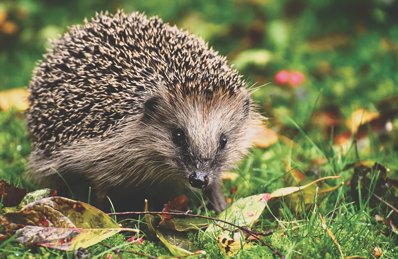hedgehog-3703244_1280